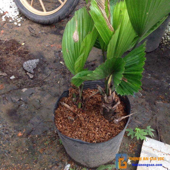tác dụng tro trấu với cây trồng
