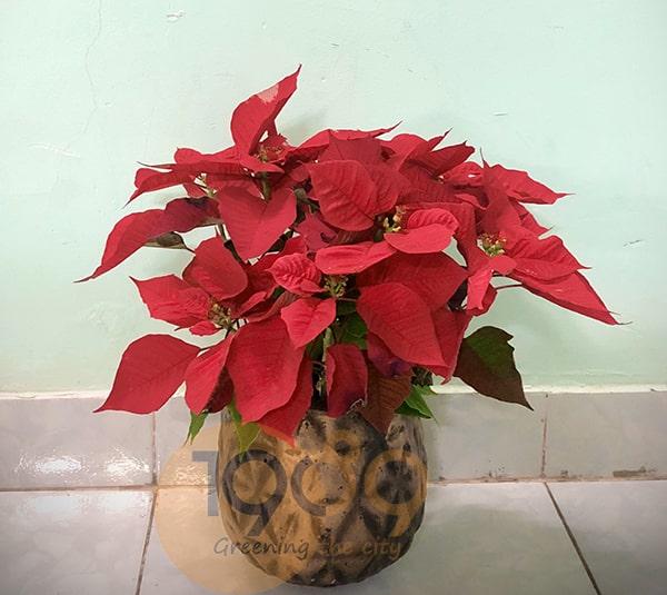 cây trạng nguyên trồng trong chậu đá mài mùa giáng sinh